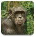 小黑猩猩救援